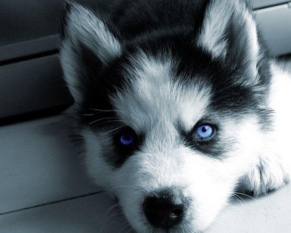 Backgrounds For Gt Siberian Husky Puppy Wallpaper Pomsky