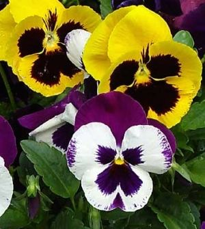 Pansies Are The Best Flower For Winter In South Texas Two Main Types Of Pansies Clear Faced And Monkey Faced The Monke Pansies Flowers Fall Flowers Pansies