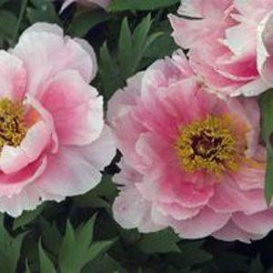 Buy Paeonia Hanakisoi Perennial Plants Online Garden Crossings