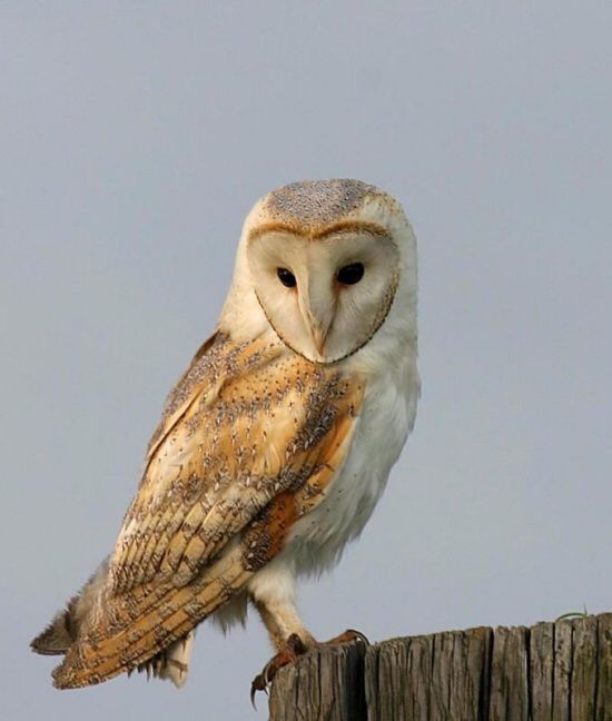 I ❤️ Barn Owls