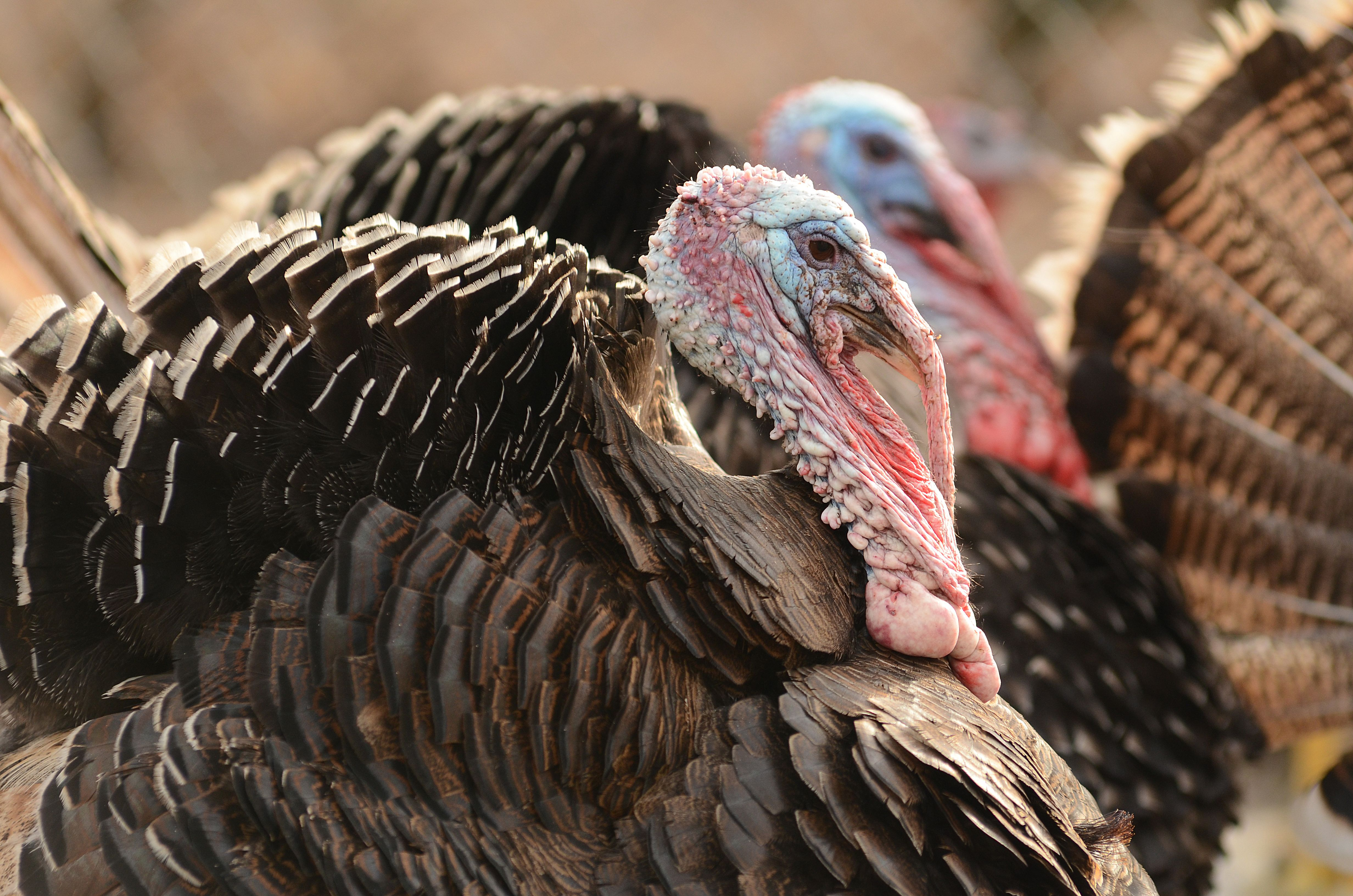 10 Really Good Reasons Not To Eat Turkeys Cooking Turkey Turkey Facts Thanksgiving Recipes