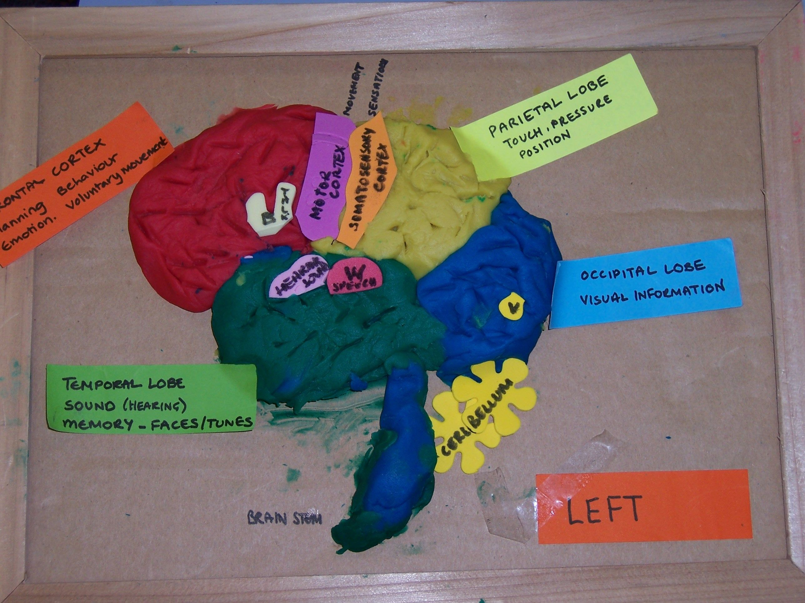 Students copied a diagram of the brain and built their own ...