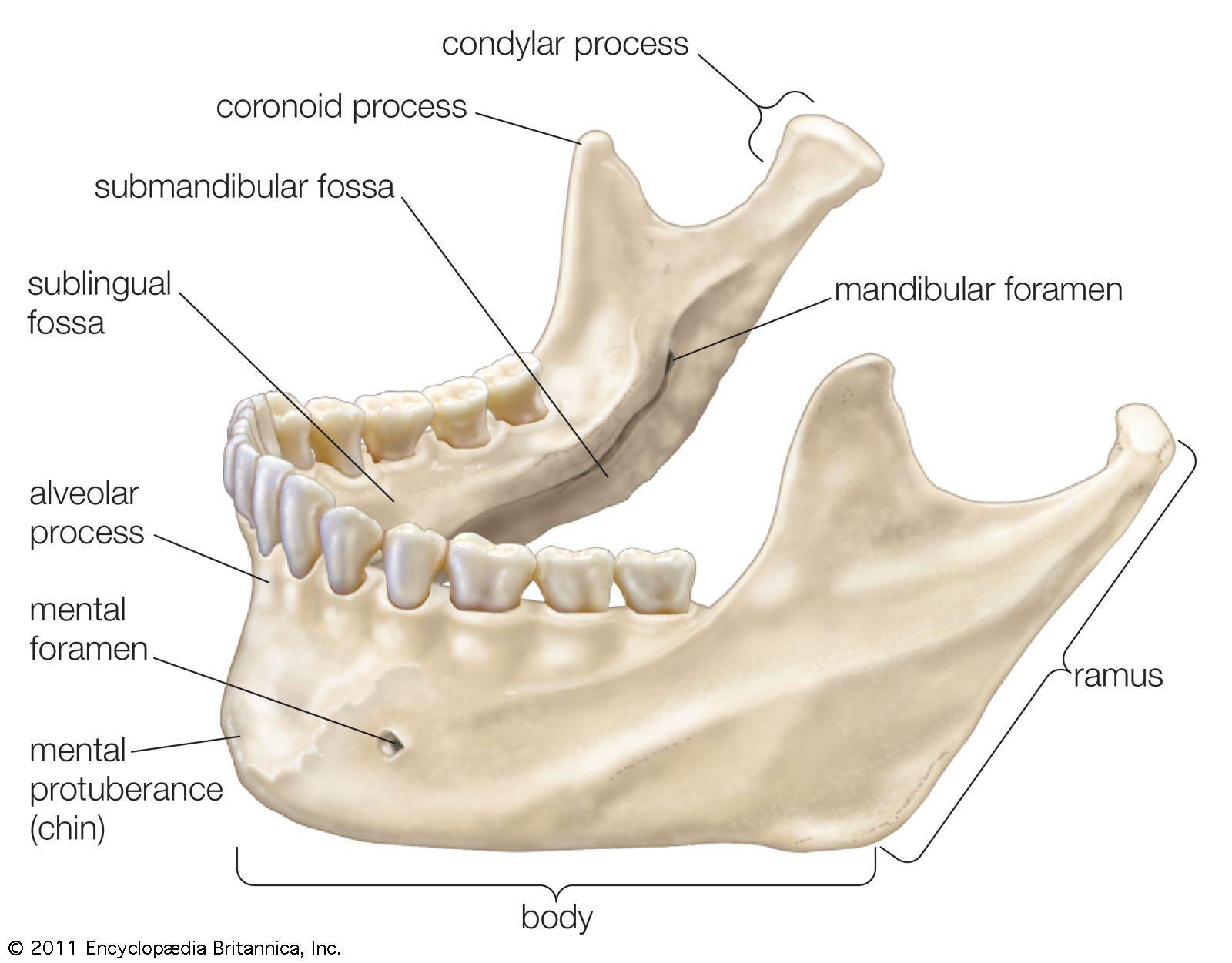 human mandible diagram leviton 3 way switch wiring diagrams the lower jawbone nursing