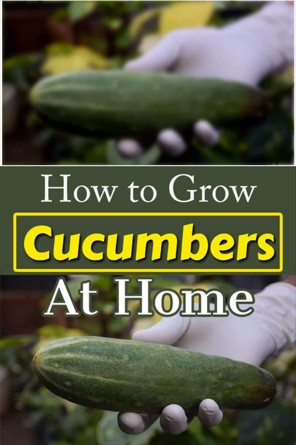 Learn how to grow cucumber at home easily with this informative video! We'll show you everything you need to know to grow cucumbers - from planting seeds to harvesting. Check out!  #growcucumber #cucumber #howtogrow #growingcucumber