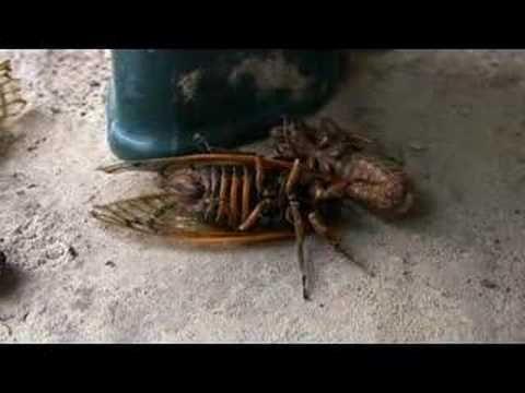 Baby Cicada Walk - YouTube