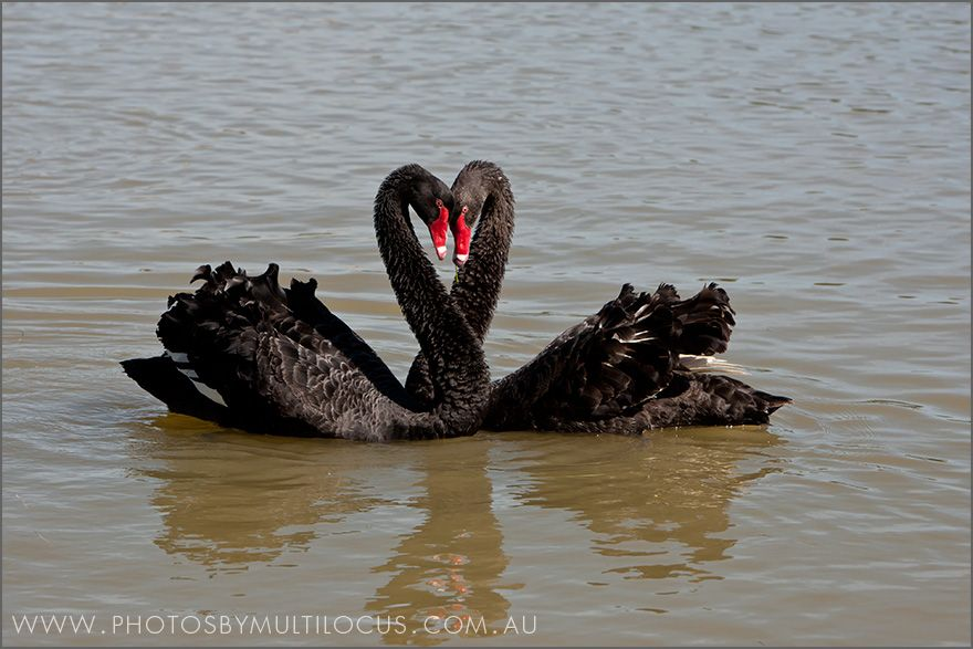 Image result for Black Swans