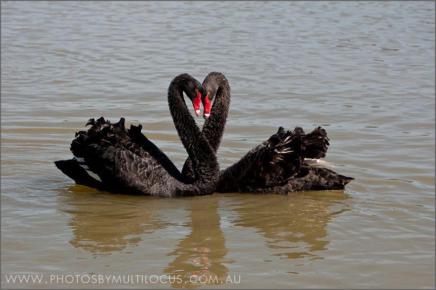 Image result for Black Swans