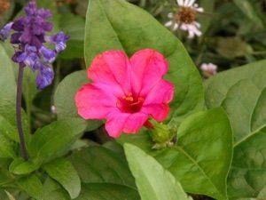 Hummingbird Plants: Four O'Clocks (Mirabilis jalapa)