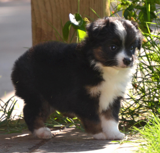 Pin On Current Available Toy Australian Shepherd Puppies Lindsey S Aussies