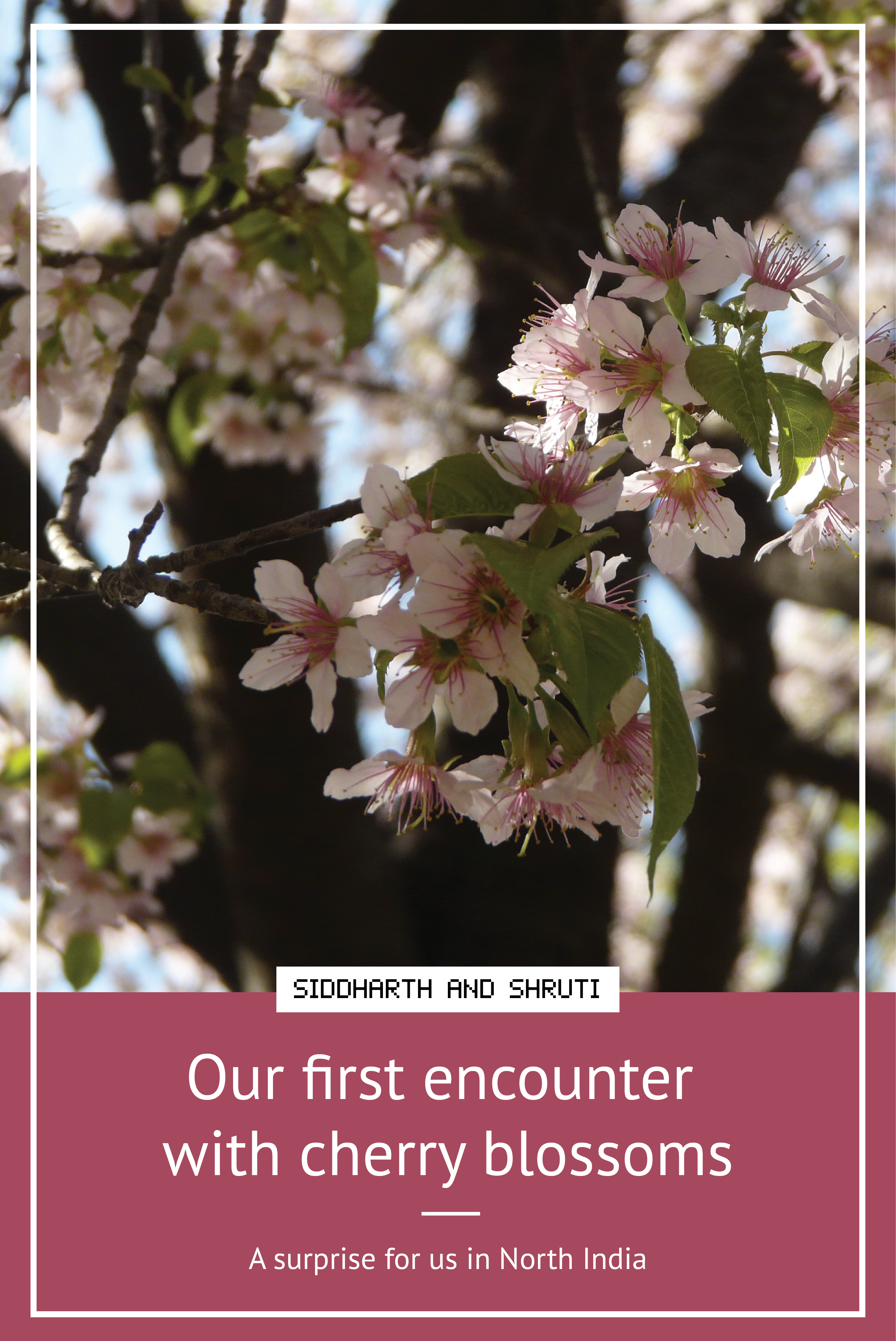 Our first encounter with cherry blossoms | Siddharth and Shruti
