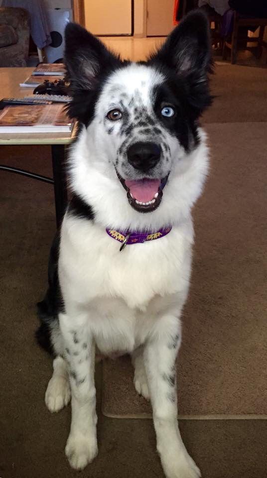 My Sweet Oshie Girl Half Husky Half Border Collie Husky Puppies Collie