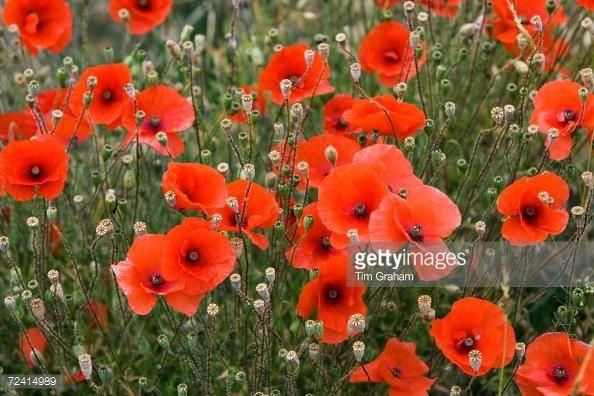 Fotografía de noticias : Poppy field, Cotswolds, United Kingdom.