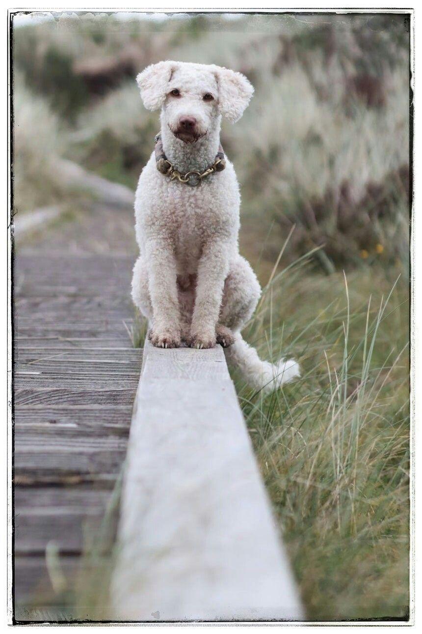 Pin Von Tanja77 Auf Spanischer Wasserhund Spanischer Wasserhund