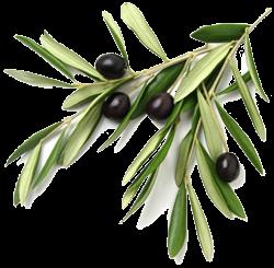 Olive Tree Graphic Google Sok Olive Leaf Tree Illustration Black Olive Tree
