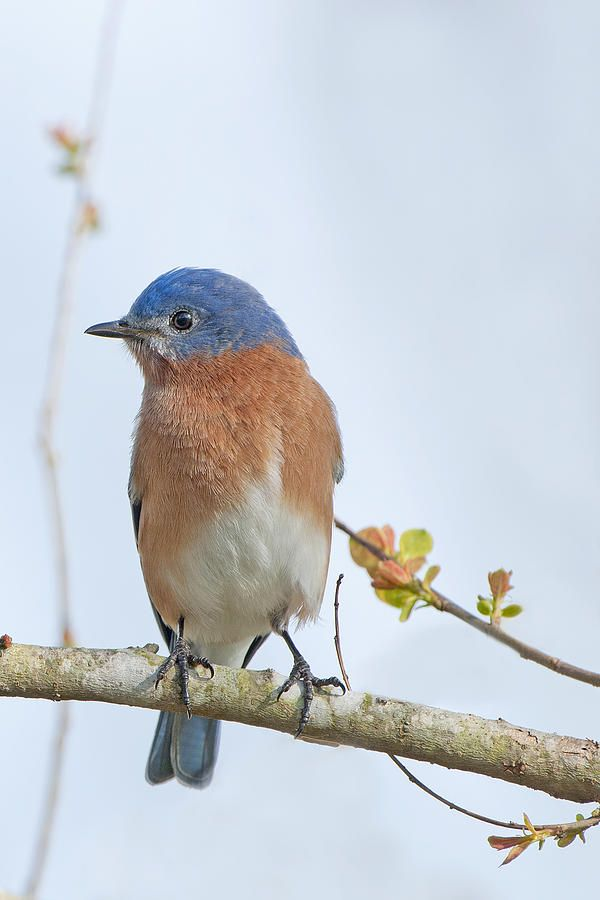 The Eastern Bluebird Has An Intensely Blue Head Back Wings And