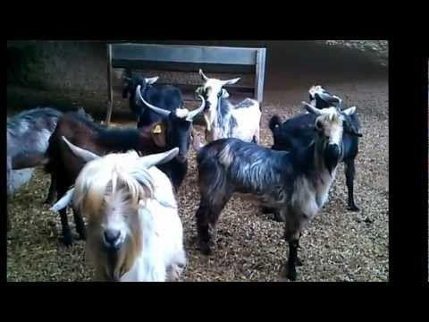 Sementales raza caprina canaria #goats