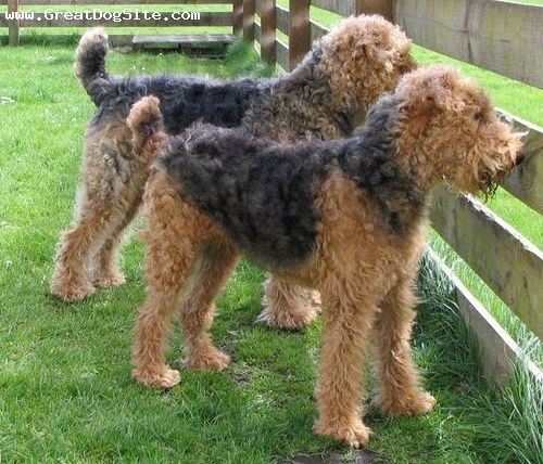 Airedale Terrier All Dog Pictures Hunde Pudel