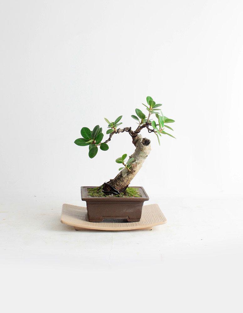 Green Island Fig Bonsai Tree Fallu002716 Fig