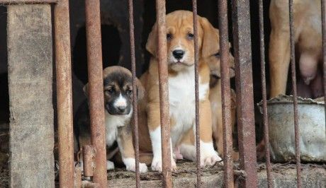 Will South Korea End its Dog Meat Trade in Time for the Winter Olympics?
