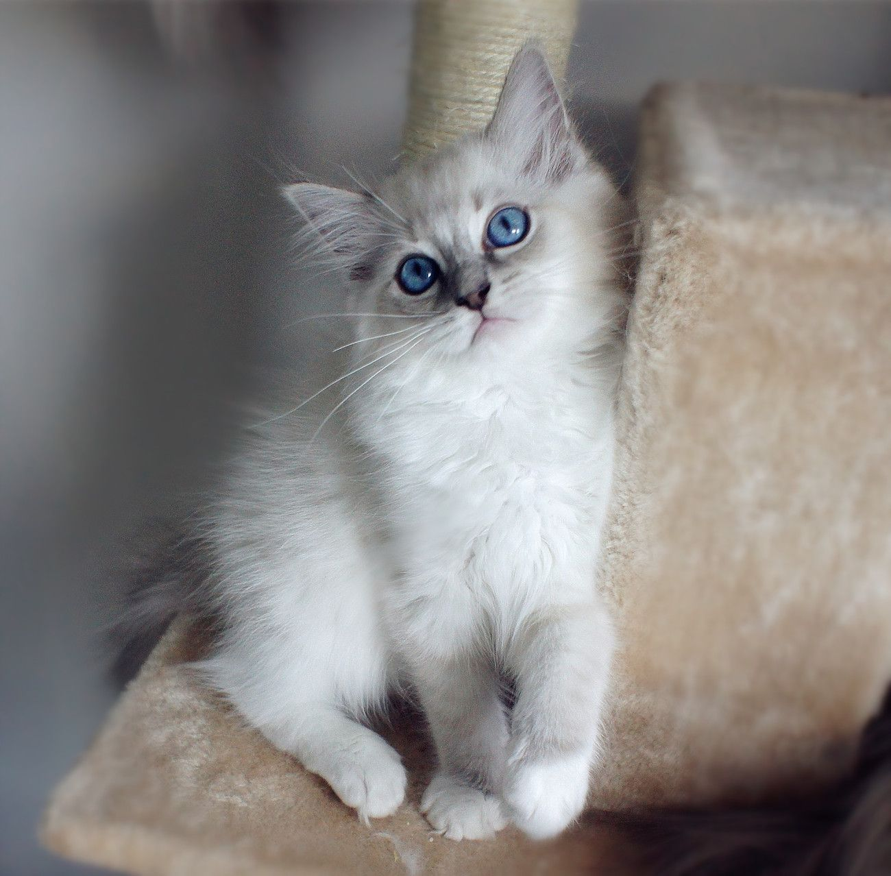 Blue Lynx Mitted With Blaze Grey Cats Ragdoll Cats