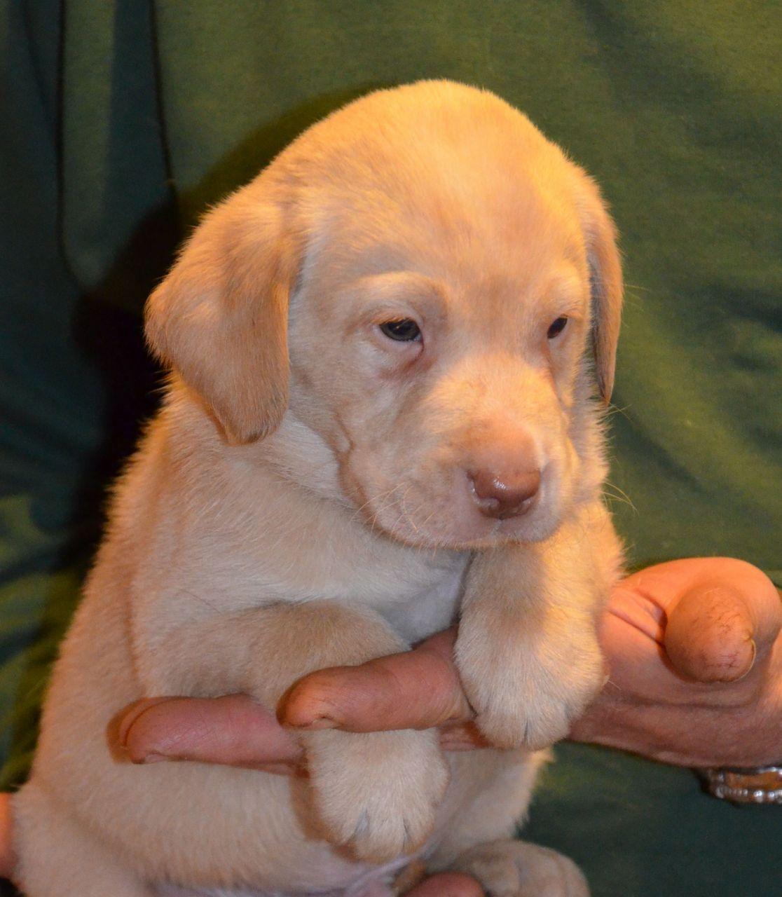 Rare Yellow *Champagne* Puppies Labrador puppy, Labrador