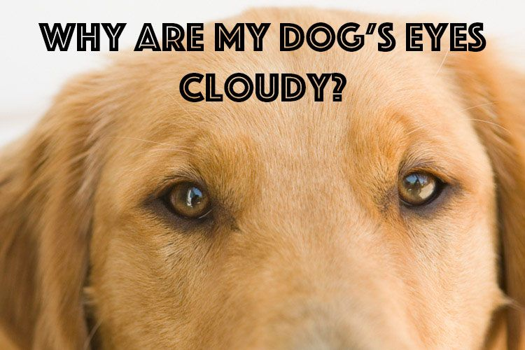 Are Your Dog S Eyes Looking A Little Cloudy Dog Doghealth Pethealth Dog Eyes Dogs Pet Health
