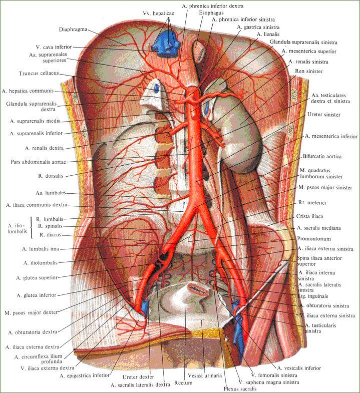 L\'aorte | MEDICINA | Pinterest | Anatomía, Medicina y Salud