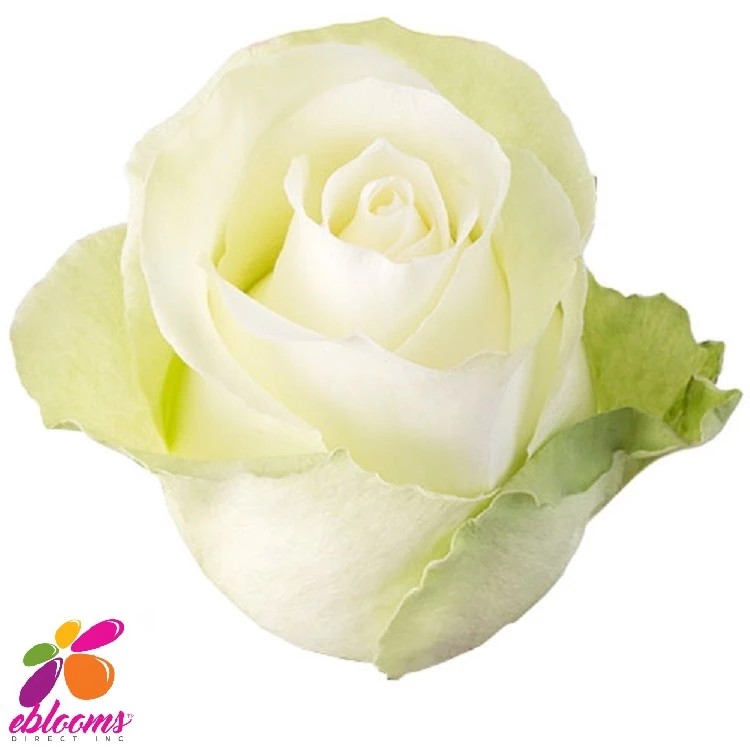 High Peace Rose Variety White Ebloomsdirect Rose Varieties Peace Rose Rose