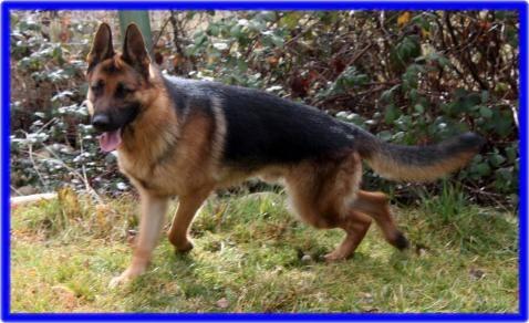 Vomwalters Puppies And Litters German Shepherd Breeder Northern