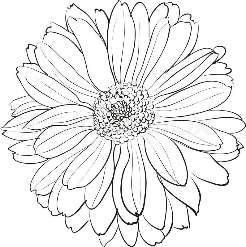 Chrysanthemum 3 ~ Renior Spider Chrysanthemum Drawing ...