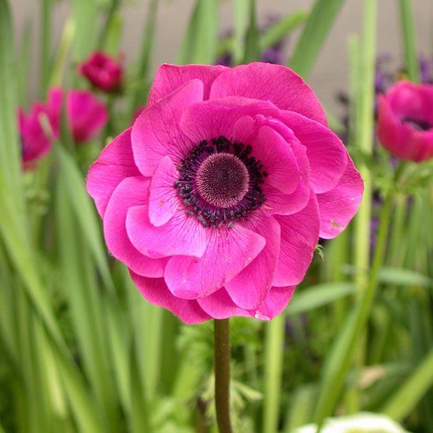 ~~Anemone De Caen 'Sylphide'~~