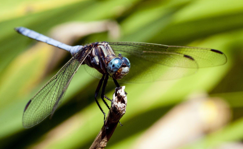 Blue-Dragonfly.jpg (1500×921)
