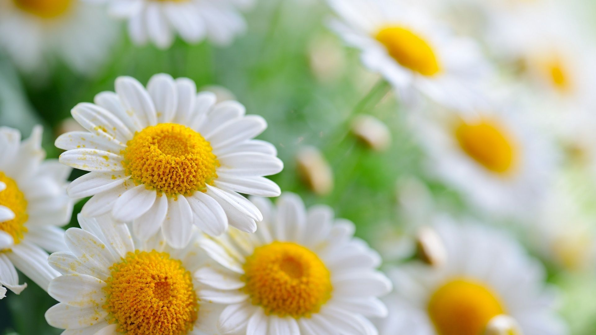 A daisy flower is composed of white petals and a yellow center a daisy flower is composed of white petals and a yellow center although the flower can sometimes have a pink or rose color description from izmirmasajfo