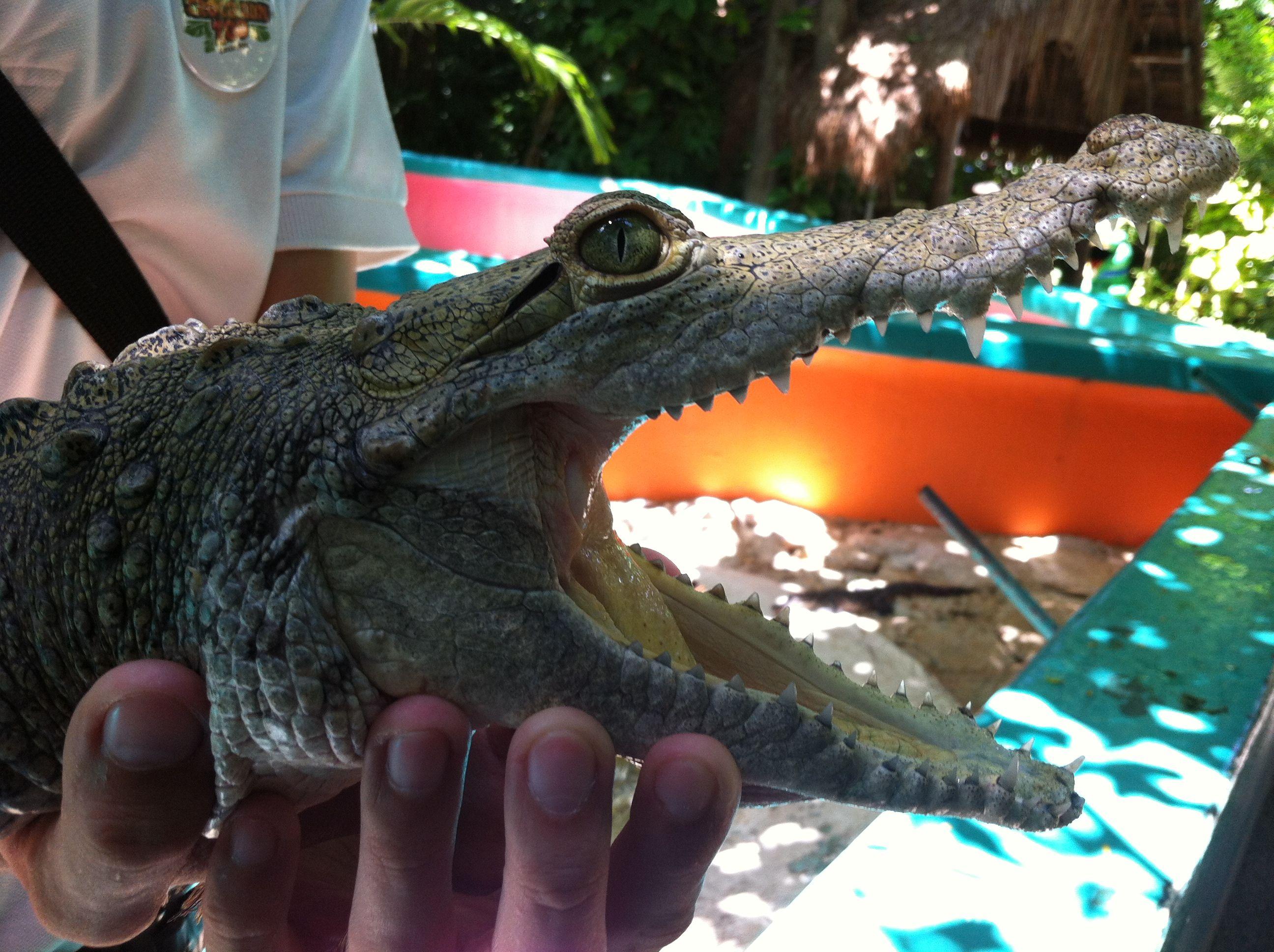 Un increíble y noble cocodrilo adolecente de pantano……. /    An amazing & noble swamp crocodile ......