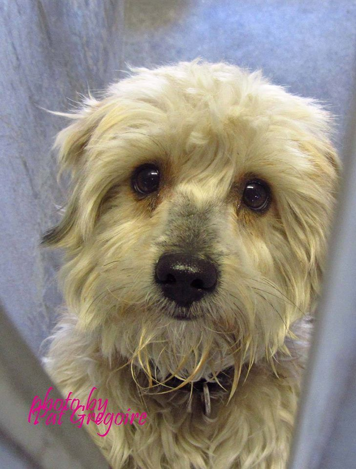 ADOPTED --- A4787164 I am a very sweet 1 yr old male cream/apricot Maltese mix. I came to the shelter as a stray on Dec 26. available 12/30/14 Baldwin Park shelter  https://www.facebook.com/photo.php?fbid=895809927097512&set=a.705235432821630&type=3&theater