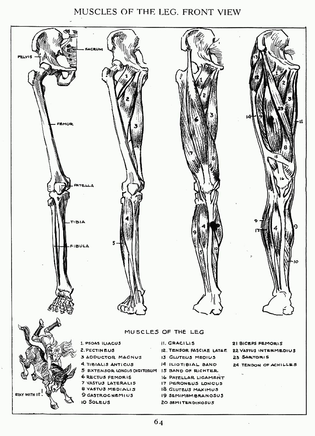 Andrew Loomis Muscles of the Right Leg Front | Anatomy | Pinterest ...