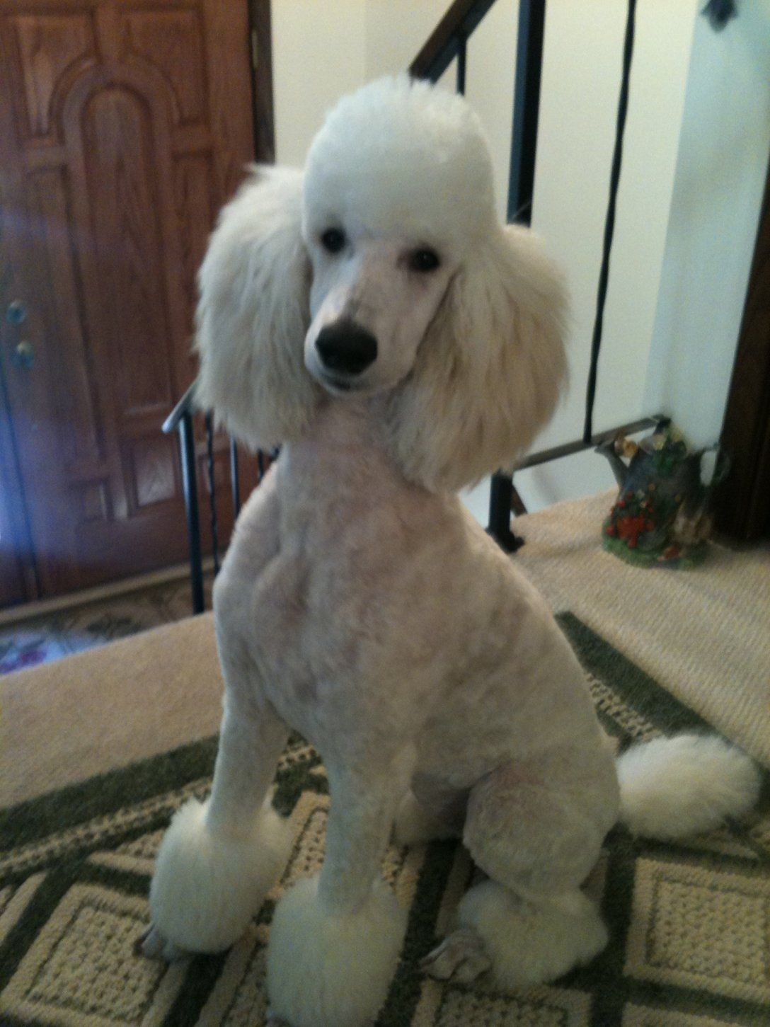 Standard poodle haircuts or of unless soft haircuts standard poodle - Easy Mini Poodle Haircuts Google Search