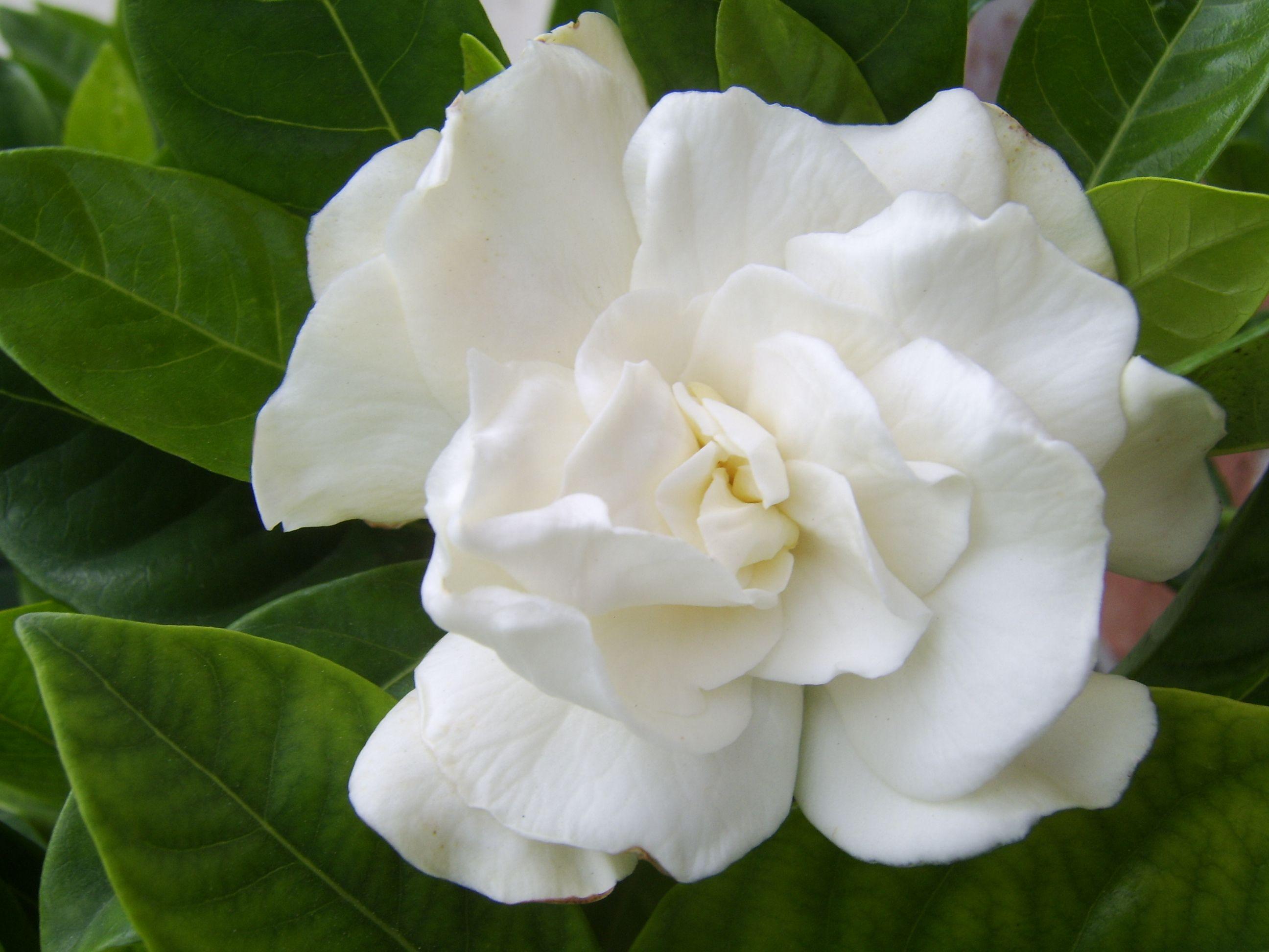 A White Gardenia Flower Pictures White Gardenia Flowers