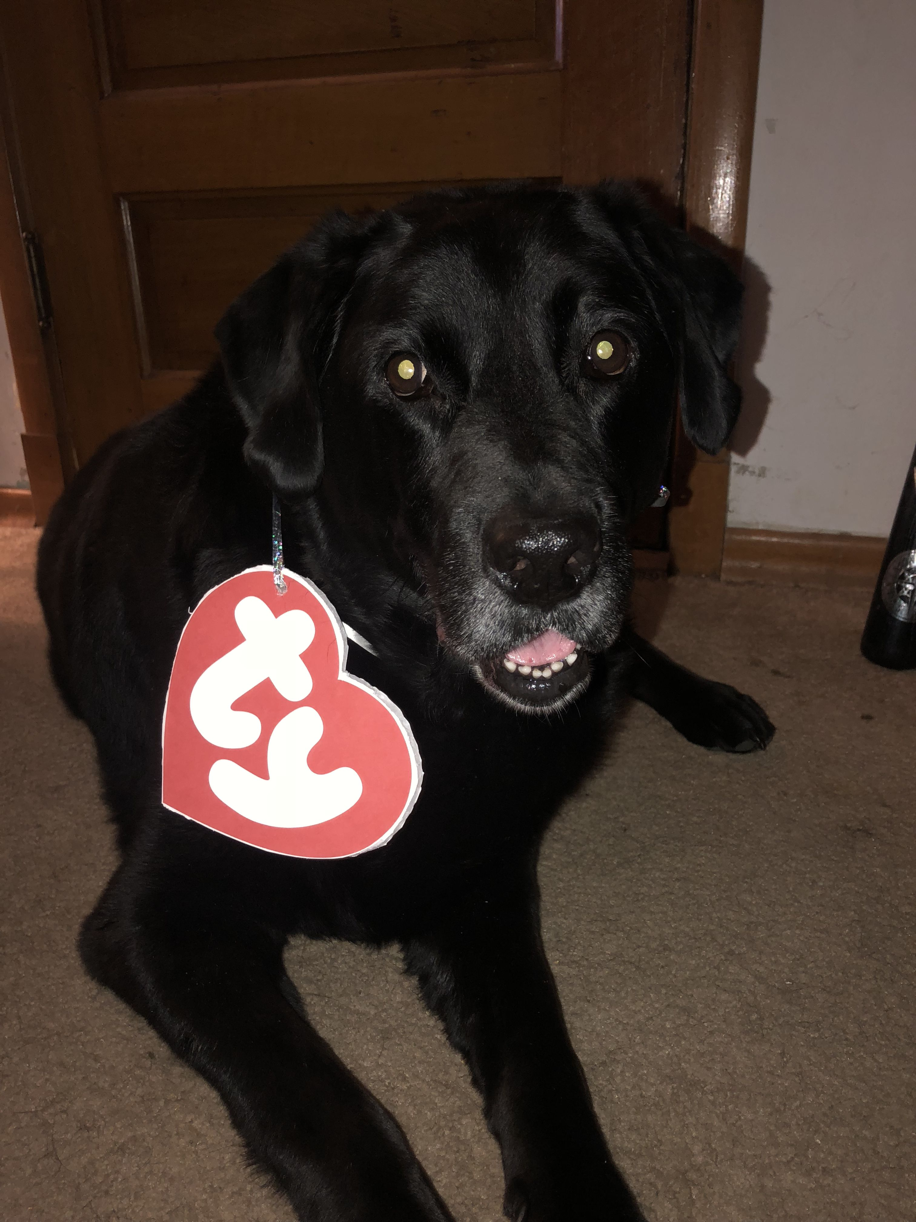 Bobber Our Black Lab Dressed In His Sweet Beanie Baby Costume For