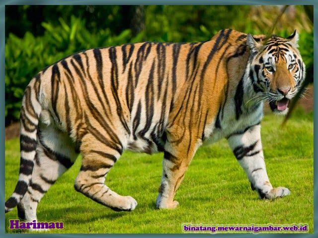 Gambar Harimau Dollarbill Tiger Wallpaper Cats Animals