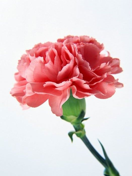 Pink Carnation Beautiful Flowers Pink Carnations Red Flower Wallpaper
