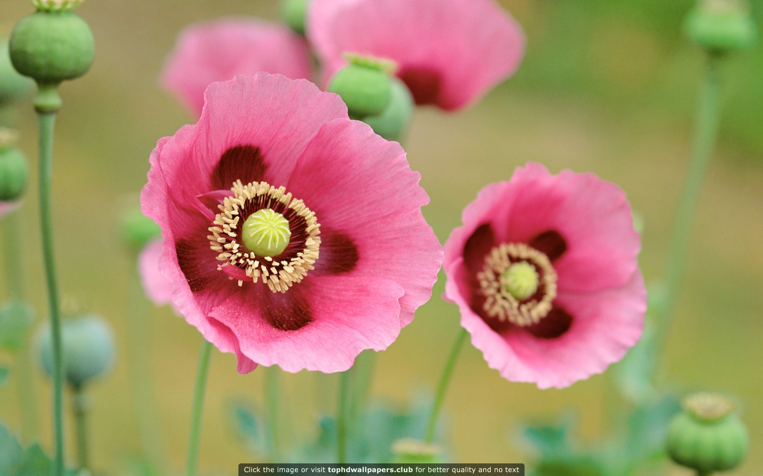 Poppies Flowers Hd Wallpaper For Your Pc Mac Or Mobile Device