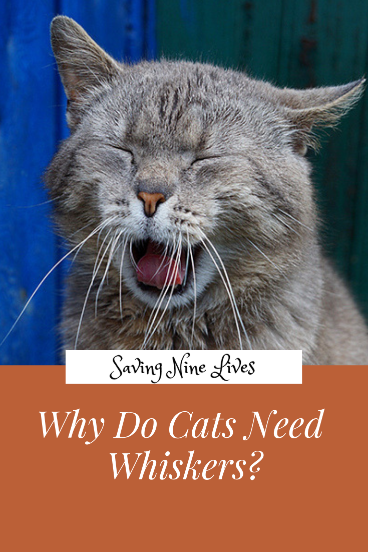 Why Do Cats Need Whiskers (With images) Cats, Cat years