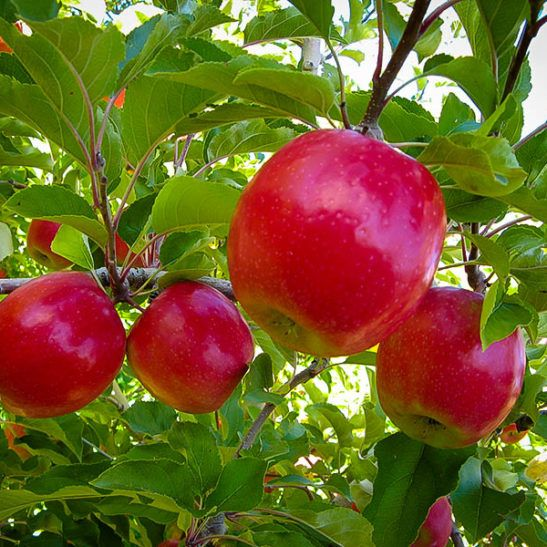 Pink Lady Apple Tree In 2021 Apple Tree Pink Lady Apples Fast Growing Trees
