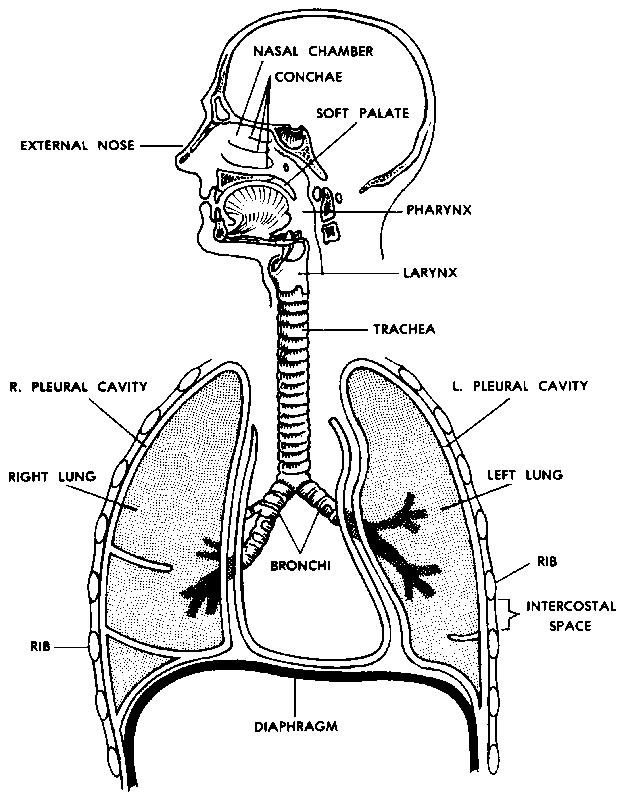 Figure 7 1 The Human Respiratory System Respiratory System Human Respiratory System Respiratory