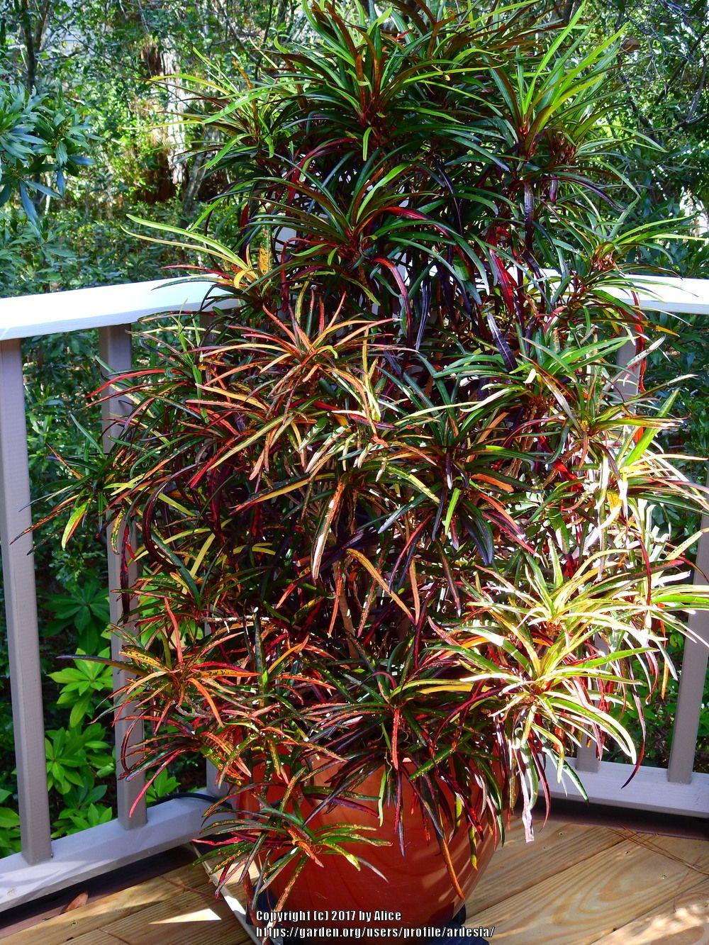 Tropicals forum: Croton (Codiaeum variegation) - Garden.org   Plants ...