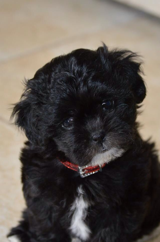 Charlie My Shih Poo Puppy Shih Poo Shih Poo Puppies Super Cute Dogs