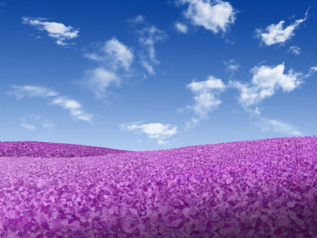 purple field of flowers | Field of Flowers | Pinterest