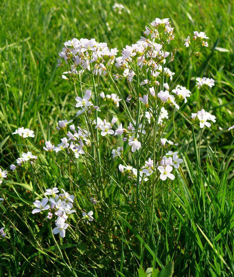 Rzezucha Lakowa Cardamine Pratensis Language Of Flowers Plants Flower Pictures
