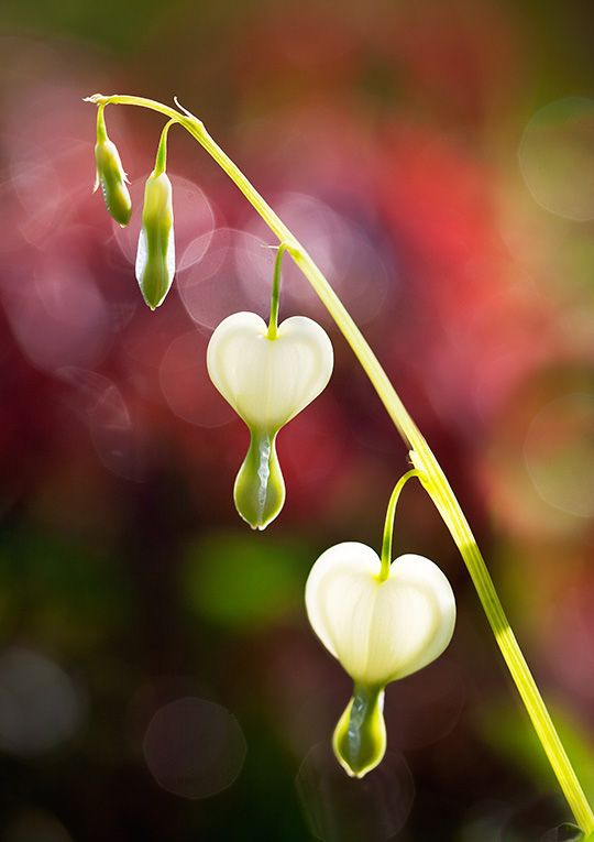 White Bleeding Heart I Love It When The Drops Are Red It Is Lovely And Inspiration For One Of My Nov Bleeding Heart Bleeding Heart Flower Beautiful Flowers